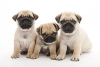 3頭の仔犬 02322009633| 写真素材・ストックフォト・画像・イラスト素材|アマナイメージズ