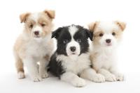 3頭の仔犬 02322009639| 写真素材・ストックフォト・画像・イラスト素材|アマナイメージズ