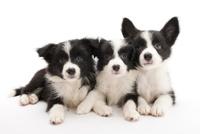 3頭の仔犬 02322009641| 写真素材・ストックフォト・画像・イラスト素材|アマナイメージズ