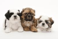 3頭の仔犬 02322009642| 写真素材・ストックフォト・画像・イラスト素材|アマナイメージズ
