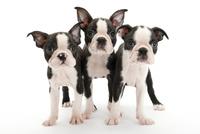 3頭の仔犬 02322009643| 写真素材・ストックフォト・画像・イラスト素材|アマナイメージズ