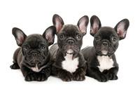 3頭の仔犬 02322009644| 写真素材・ストックフォト・画像・イラスト素材|アマナイメージズ