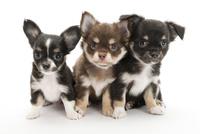 3頭の仔犬 02322009645| 写真素材・ストックフォト・画像・イラスト素材|アマナイメージズ