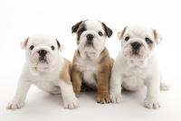 3頭の仔犬 02322009646| 写真素材・ストックフォト・画像・イラスト素材|アマナイメージズ