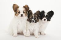 3頭の仔犬 02322009647| 写真素材・ストックフォト・画像・イラスト素材|アマナイメージズ