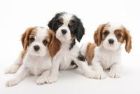 3頭の仔犬 02322009650| 写真素材・ストックフォト・画像・イラスト素材|アマナイメージズ