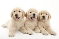 3頭の仔犬 02322009652| 写真素材・ストックフォト・画像・イラスト素材|アマナイメージズ