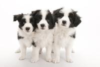 3頭の仔犬 02322009654| 写真素材・ストックフォト・画像・イラスト素材|アマナイメージズ