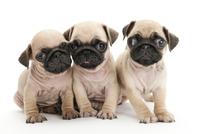 3頭の仔犬 02322009655| 写真素材・ストックフォト・画像・イラスト素材|アマナイメージズ