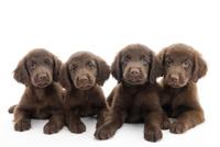 4頭の仔犬 02322009656| 写真素材・ストックフォト・画像・イラスト素材|アマナイメージズ