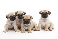 4頭の仔犬 02322009661| 写真素材・ストックフォト・画像・イラスト素材|アマナイメージズ