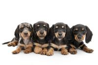 4頭の仔犬 02322009664| 写真素材・ストックフォト・画像・イラスト素材|アマナイメージズ