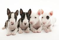4頭の仔犬 02322009667| 写真素材・ストックフォト・画像・イラスト素材|アマナイメージズ