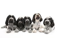 5頭の仔犬 02322009670| 写真素材・ストックフォト・画像・イラスト素材|アマナイメージズ