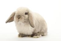 横を向いているウサギ