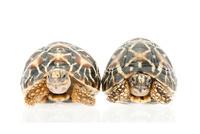 正面を向いている2匹の亀