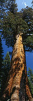 USA,California,redwood,Grizzly Giant