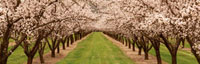 Almond trees along a path in an orchard,California,USA