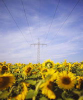 Power lines over a sunflower field