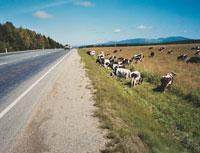 道ばたの牛