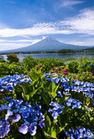 アジサイと富士山 02328000391| 写真素材・ストックフォト・画像・イラスト素材|アマナイメージズ