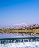 桜咲く白石川堤一目千本桜