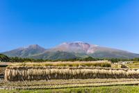稲の稲架掛けと浅間山