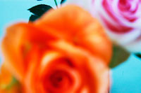 バラの花 02332000060A| 写真素材・ストックフォト・画像・イラスト素材|アマナイメージズ