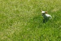 チワワと草原