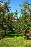 りんご園 02332000169| 写真素材・ストックフォト・画像・イラスト素材|アマナイメージズ
