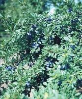 プルーンの木 02332000282| 写真素材・ストックフォト・画像・イラスト素材|アマナイメージズ