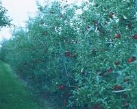 りんご畑と空