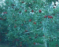 りんご畑 02332000304| 写真素材・ストックフォト・画像・イラスト素材|アマナイメージズ