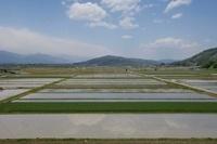 信州安曇野の水がはった田んぼと麦畑
