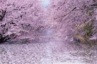 水面を埋めつくす桜の花びら