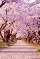 桜並木 02335000469| 写真素材・ストックフォト・画像・イラスト素材|アマナイメージズ
