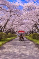 桜満開の北上展勝地