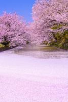 桜満開の弘前公園