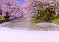 桜満開の弘前公園 02335007503| 写真素材・ストックフォト・画像・イラスト素材|アマナイメージズ