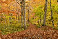 秋の小安峡の林