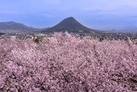 桜咲く讃岐平野