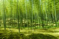 春の天龍寺庭園竹林