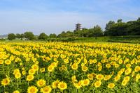 ひまわり咲く備中国分寺