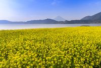 菜の花咲く池田湖と開聞岳 02335008650  写真素材・ストックフォト・画像・イラスト素材 アマナイメージズ