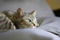 クッションに横たわる猫