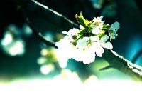 桜の花 02341000020| 写真素材・ストックフォト・画像・イラスト素材|アマナイメージズ
