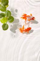 2匹の金魚と波紋と水草
