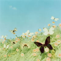 青い空と蝶々が飛ぶ花畑 02349000046| 写真素材・ストックフォト・画像・イラスト素材|アマナイメージズ