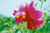 ピンクのダリアにとまるミツバチ 02349000048| 写真素材・ストックフォト・画像・イラスト素材|アマナイメージズ