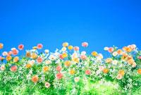 色とりどりの小さな花と青空 02349000137| 写真素材・ストックフォト・画像・イラスト素材|アマナイメージズ
